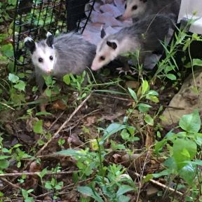 Opossums leaving their crate 6_24_2020 small